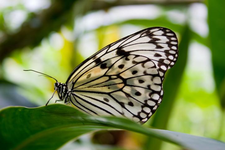 Faszinierende Schmetterlingsvielfalt in den Farmen auf Penang