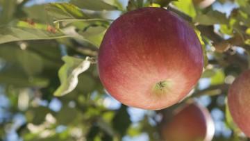 Welche Obstbäumchen und Obststämme eignen sich für den heimischen Garten und den Balkon?