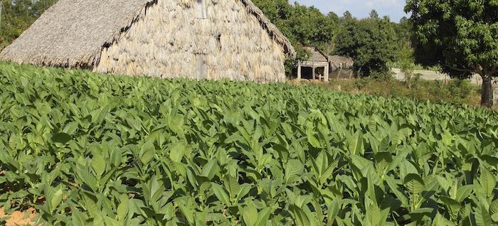 Bildquelle: ©tupungato / iStock - Tabakplantage auf Kuba
