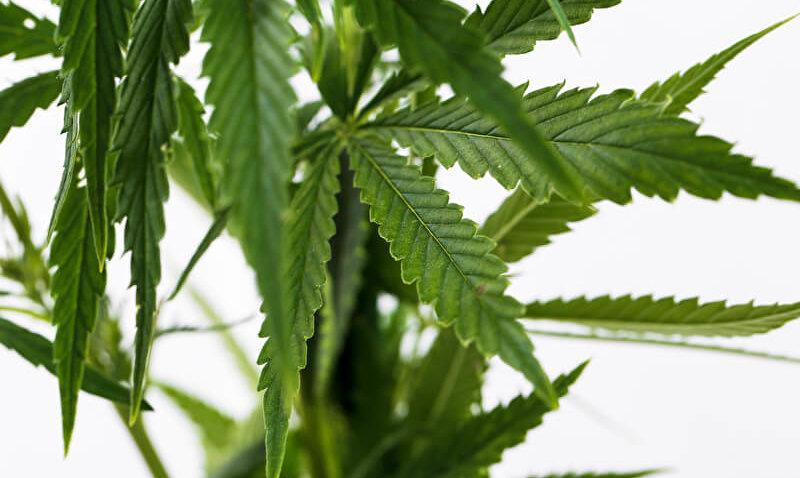 Die Kraft der Cannabispflanze – zwischen Rauschdroge und Naturheilmittel